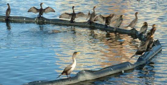Lake Merritt, double crested cormorants. Photo credit: Stephen Lea.